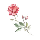 The image of a rose.Hand draw watercolor illustration - 184094735