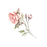 The image of a rose.Hand draw watercolor illustration - 184094752