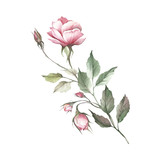 The image of a rose.Hand draw watercolor illustration - 184094773