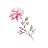 The image of a rose.Hand draw watercolor illustration - 184094775