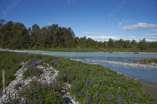 Foto op Aluminium Rio de Janeiro Spring in Patagonia. Lupins flowering on the banks of the Rio el Canal along the Carretera Austral in southern Chile.