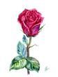 Crimson rose with stem and leaves, watercolor painting on white background.