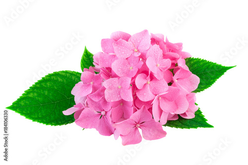 Plexiglas Hydrangea Pink flowers of hydrangea or hortensia isolated on white. Image included clipping path