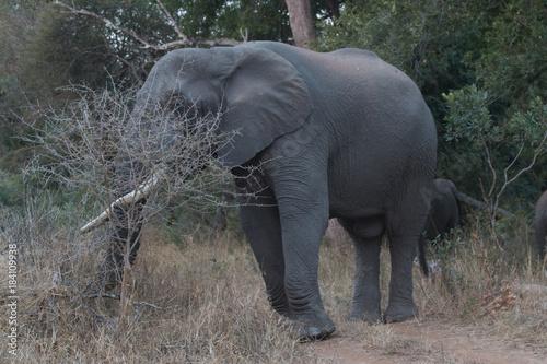 Afrique du sud, ses éléphants, son coucher de soleil, safari Poster