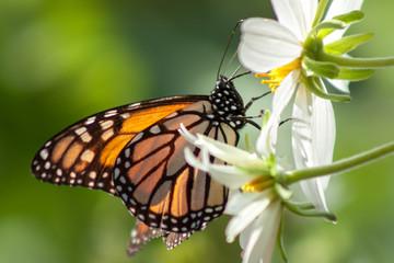 California Monarch Butterfly