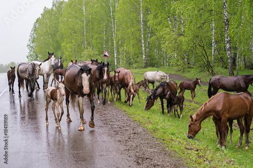 Plexiglas Berkenbos Табун лошадей идёт по мокрой дороге, во время дождя, летом.