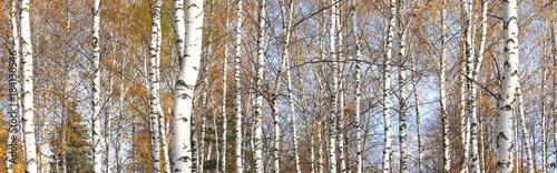Plexiglas Berkenbos autumn panorama with beautiful birches