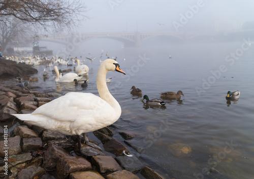 Sticker swans in prague