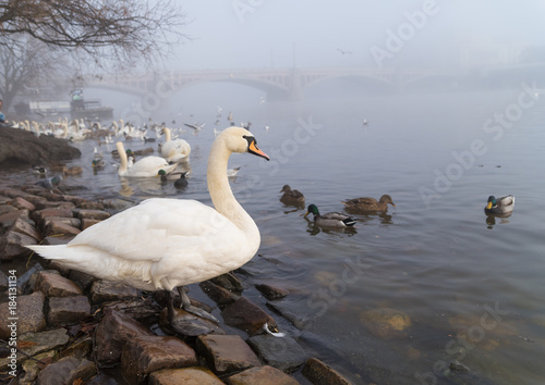 Wall mural swans in prague
