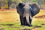 African elephant (Loxodonta) with ears flapping standing in a shallow agoon against a natural bush and plains background in South Luangwa National Park, Zambia, Southern Africa - 184134383
