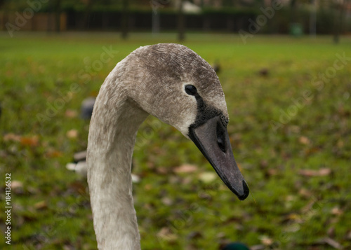 Plexiglas Zwaan Head and neck of young swan against green grass