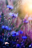 Beautiful wild flower in sunset - 184141350