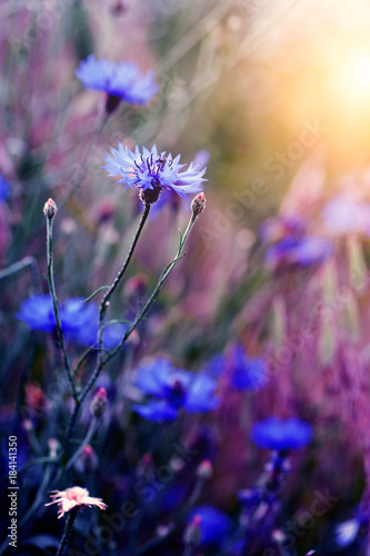 Wall mural Beautiful wild flower in sunset