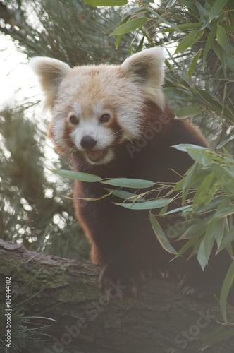 Plexiglas Panda Red panda on a tree