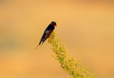 One barn swallow sits on green plant on bright beige blurred background - 184147386