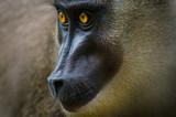 Closeup portrait of drill monkey in rain forest of Nigeria - 184163199