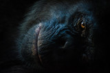Dark closeup portrait of chimp or chimpanzee with wise look - 184168713