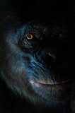 Dark closeup portrait of chimp or chimpanzee with wise look