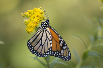 Butterfly 2017-134 / Monarch on goldenrod