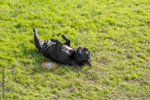 Foto op Canvas Franse bulldog Cute black French bulldog playing on the grass yards.