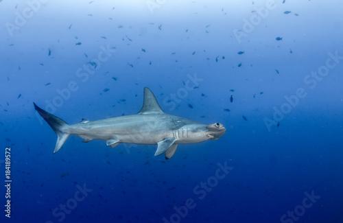 Hammerhead shark at Cocos Island Poster