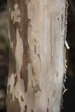 特徴的なサルスベリの樹皮(宮城県) - 184201512