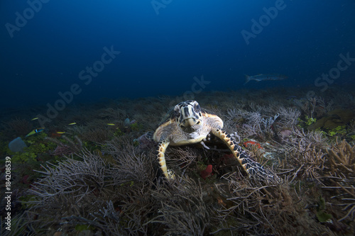 Hawksbill Sea Turtle (Florida) Poster