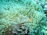 Falscher Clown - Anemonenfisch (Amphiprion ocellaris) auf einer Prachtanemone oder Mauritiusanemone (Heteractis magnifica) ,Pintuyan, Panaon Island,Southern Leyte,Philippinen - 184213319