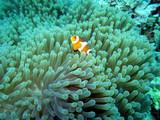 Falscher Clown - Anemonenfisch (Amphiprion ocellaris) auf einer Prachtanemone oder Mauritiusanemone (Heteractis magnifica) ,Pintuyan, Panaon Island,Southern Leyte,Philippinen - 184213326