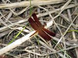 rote Libelle (Neurothemis fluctuans) - 184215705