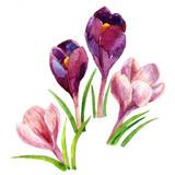crocus flowers. watercolor - 184222125