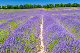 Lavender field in summer countryside - 184223905