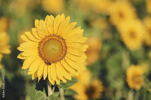 Keuken foto achterwand Oranje Sunflower flower in a field, matte style.