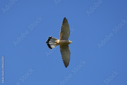 Hawk bird Poster