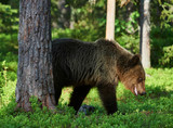 wild brown bear in the forest - 184233571