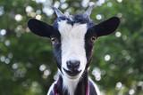Goat - 184238308