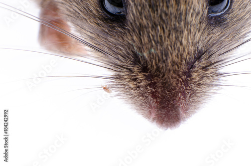 Mouse flea on a dead mouse closeup Poster