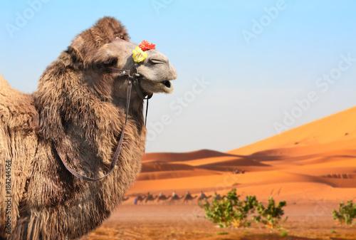 Fotobehang Marokko Camels in Sahara desert, Morocco