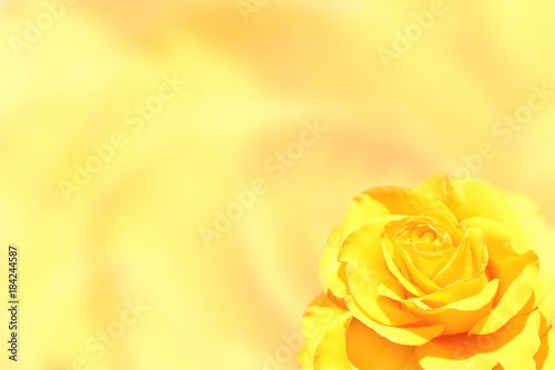 Blurred background with rose of yellow color