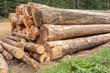 grumes de conifères en forêt  - 184255160