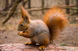 Squirrel in the forest - 184258125