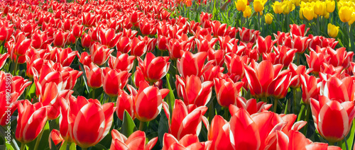 Plexiglas Tulpen Tulip flowers red and yellow field and blue sky landscape Holland.