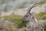 Iberian wild goat - 184265740