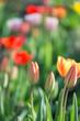 Multi-colored tulips - 184305515
