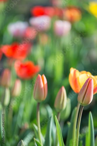 Fotobehang Tulpen Multi-colored tulips