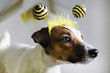 Jack Russell in the rim in the form of bees