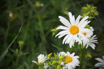 white daisy in summer