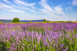 Blooming lavender fields in Little Poland