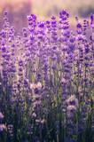 Lavender flowers, blooming - 184334352