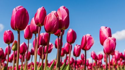 Vibrant pink tulips against a blue sky